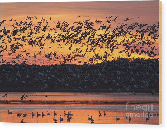 Snow Goose Sunset Wood Print