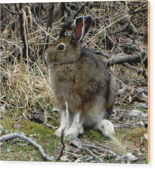Snowshoe Hare Wood Print by Mark Caldwell