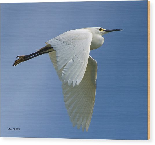 Snowy Egret Fly-by Wood Print