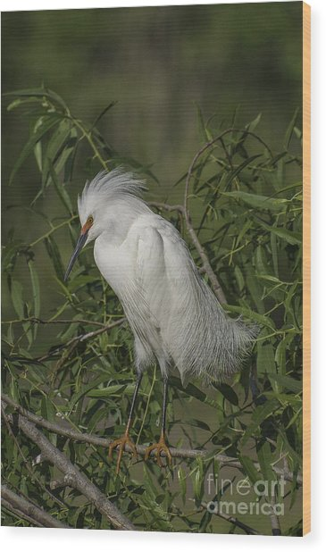 Snowy Egret In Breeding Plumage Wood Print