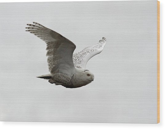 Snowy Owl In Flight Wood Print by Pierre Leclerc Photography