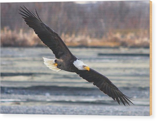 Soaring Bald Eagle Wood Print by Carrie OBrien Sibley