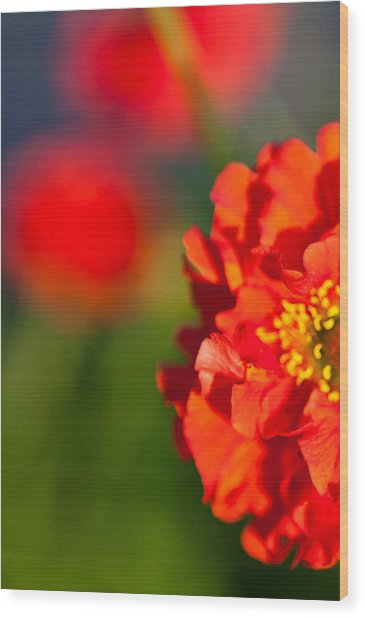 Soft Red Flower Wood Print