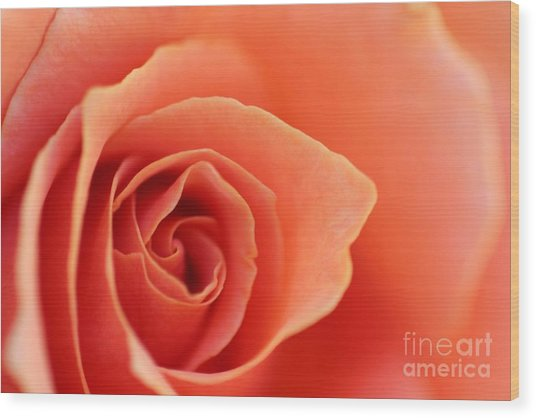 Soft Rose Petals Wood Print
