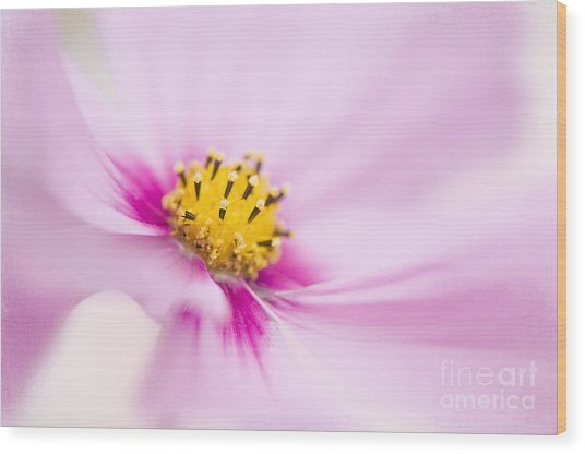 Softly Cosmos Wood Print by Jacky Parker