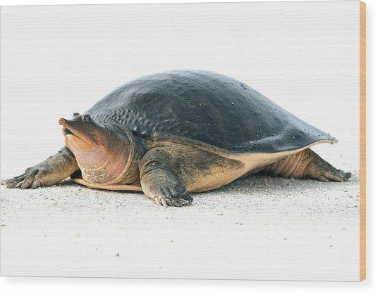 Softshell Turtle Wood Print