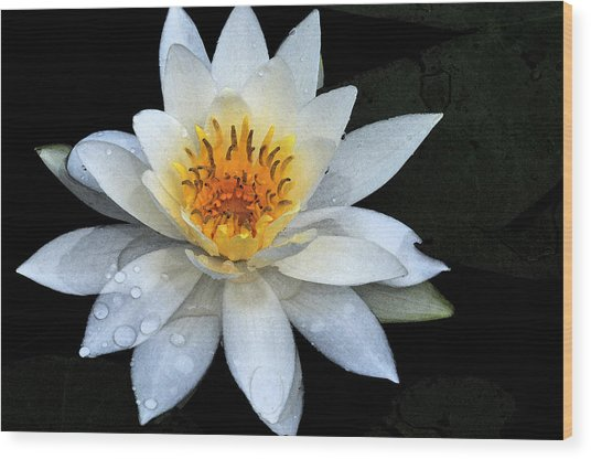 Solo Water Lily Wood Print