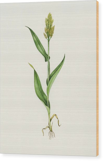 Sorghum (sorghum Bicolor), Artwork Wood Print by Lizzie Harper