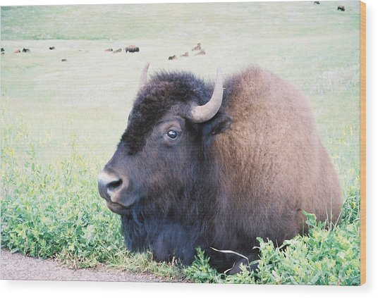 South Dakota Bison Wood Print