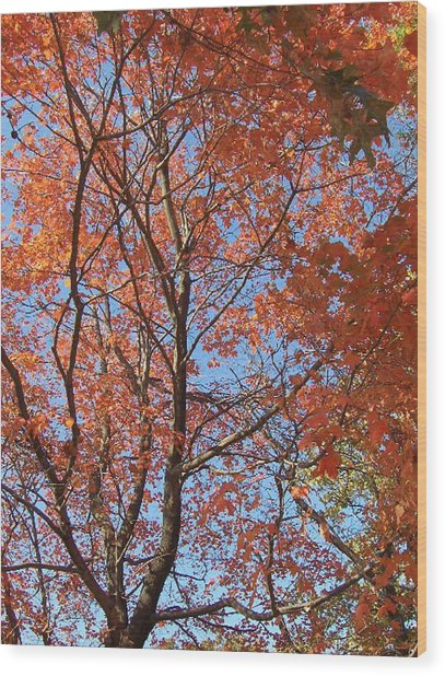 Southern Illinois Maple Wood Print by Paul Louis Mosley
