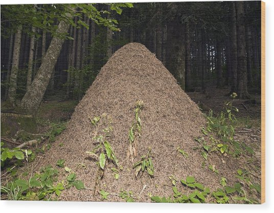 Southern Wood Ant Nest Wood Print