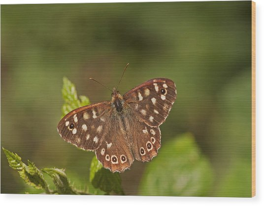 Speckled Wood Wood Print by Paul Scoullar