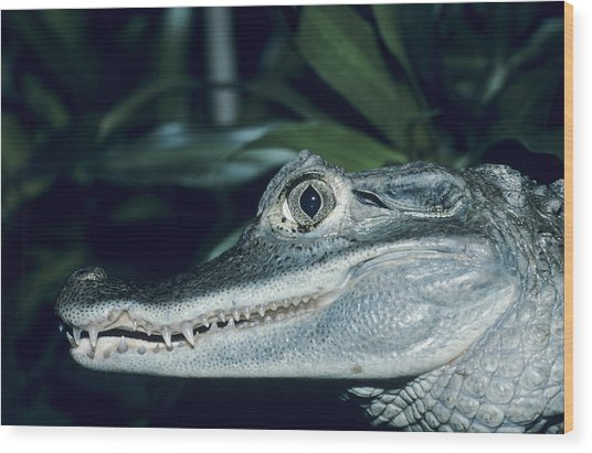 Spectacled Caiman Wood Print by David Aubrey