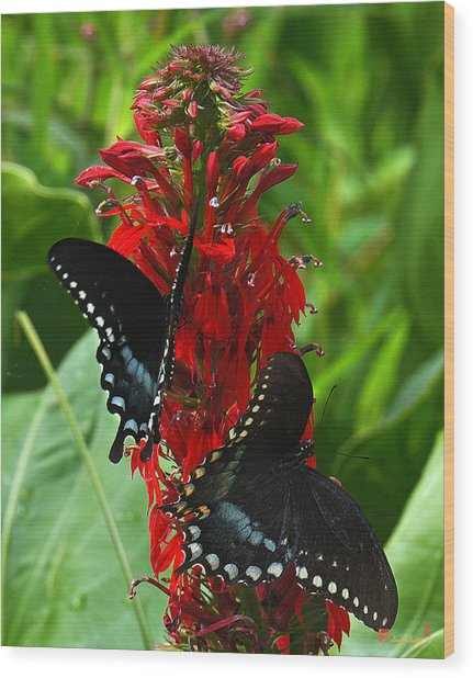 Spicebush Swallowtails Visiting Cardinal Lobelia Din041 Wood Print