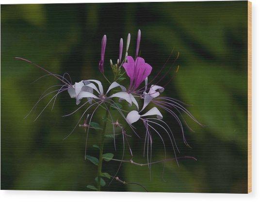 Spider Flower Wood Print