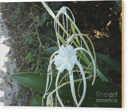 Spider Lily3 Wood Print