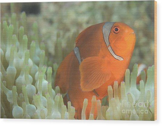 Spinecheek Anemonefish In Anemone Wood Print