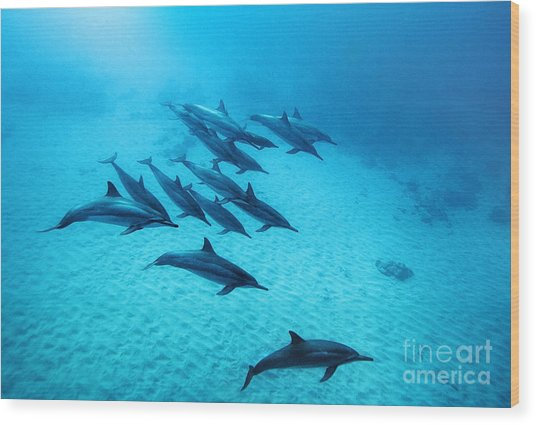 Spinner Dolphins Blue Wood Print