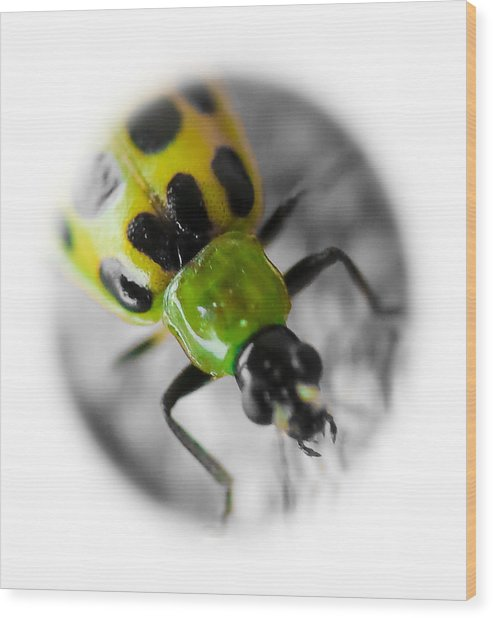 Spotted Cucumber Beetle Wood Print by Maureen  McDonald