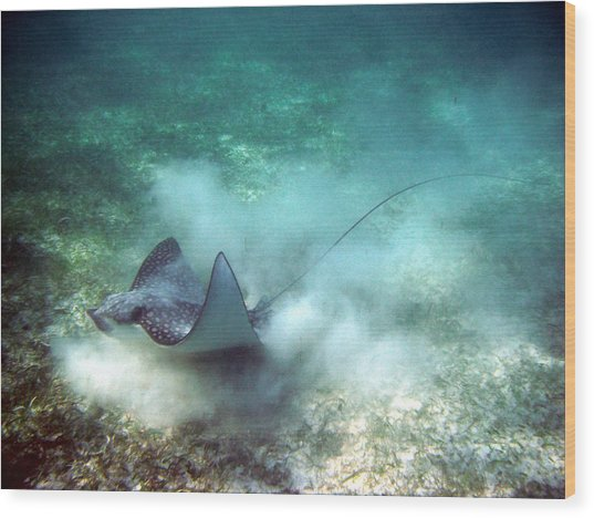 Spotted Eagle Ray Feeding Wood Print
