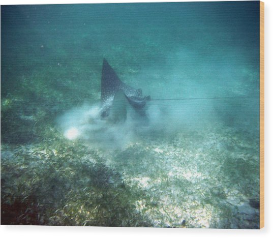 Sppoted Eagle Ray In The Feed Wood Print