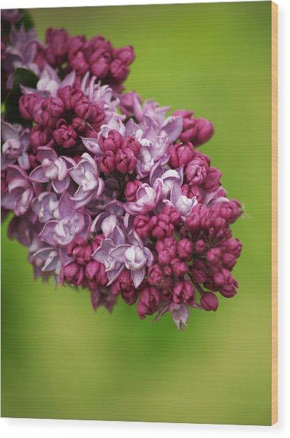 Spray Of Lilac II Wood Print by Laine Zunte