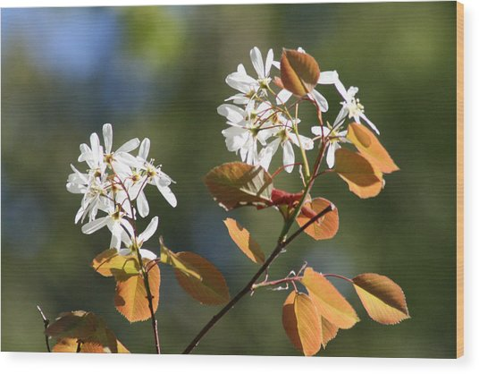 Spring Blossoming Shrubs Wood Print