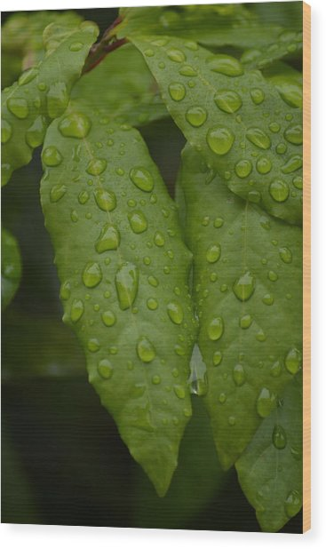 Spring Leaves Wood Print by Dickon Thompson