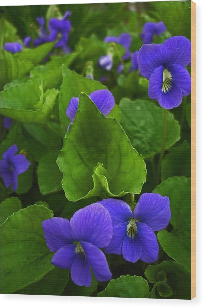 Spring Violets Wood Print by Yvonne Scott