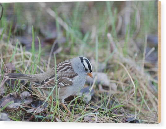 Spring White Crowned Sparrow Wood Print