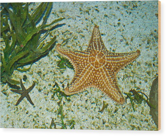 Starfish Wil 255 Wood Print