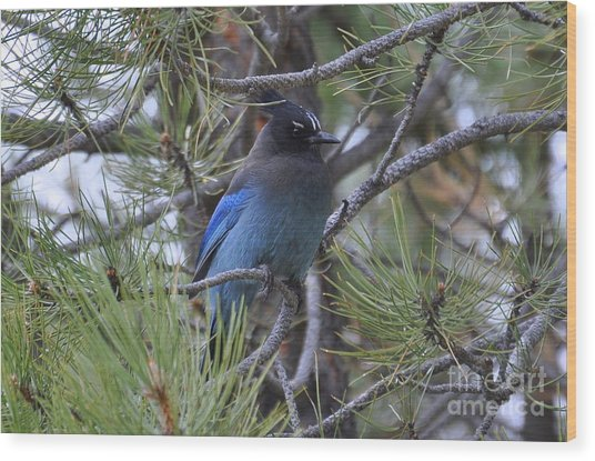 Stellar's Jay In Profile Wood Print