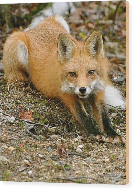 Stretching Fox Wood Print