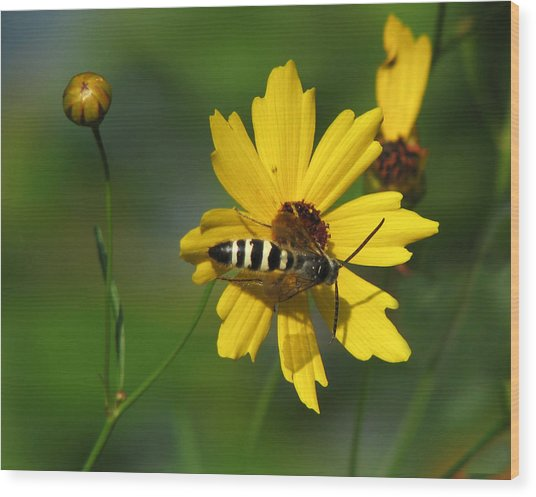 Striped Bee On Wildflower Wood Print
