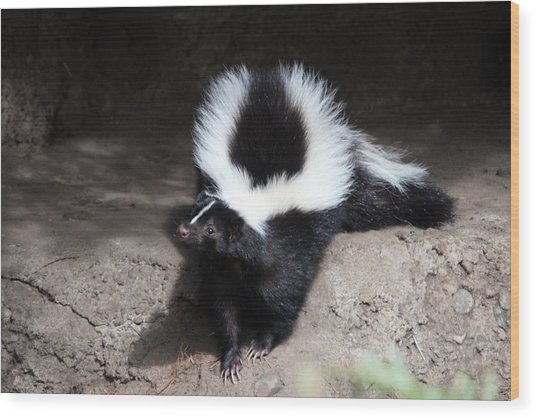 Striped Skunk - 0002 Wood Print