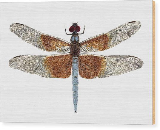 Study Of A Female Widow Skimmer Dragonfly Wood Print