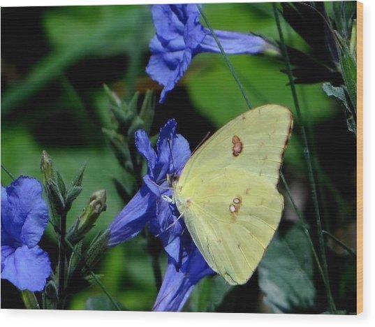 Sulphur Butterfly On Wildflower Wood Print by Betty Berard