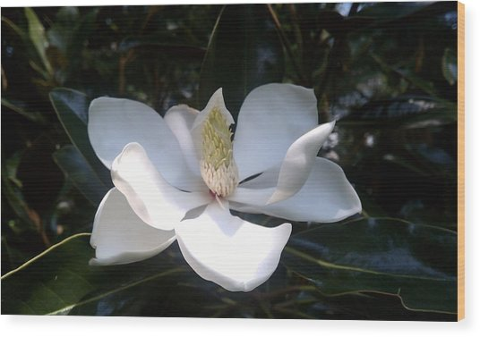 Summer Magnolia Wood Print by Jeannette Brown
