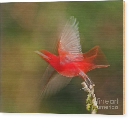 Summer Tanager Wood Print