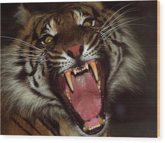 Sumtran Tiger Wood Print by Kurt Weiss