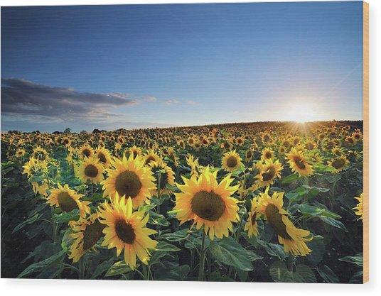 Sun Setting Over Sunflower Field Wood Print by Andreas Jones