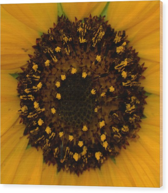 Sunflower Burst Wood Print by Dakota Light Photography By Dakota