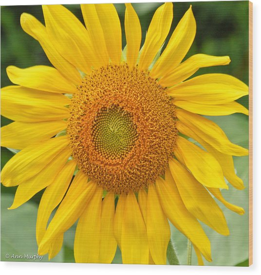 Sunflower Days Wood Print