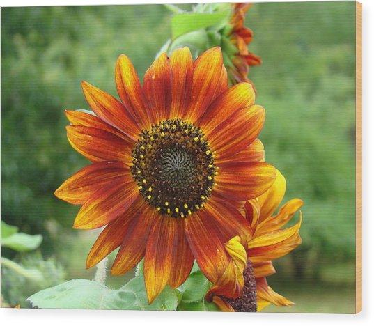 Sunflower Wood Print by Lisa Rose Musselwhite