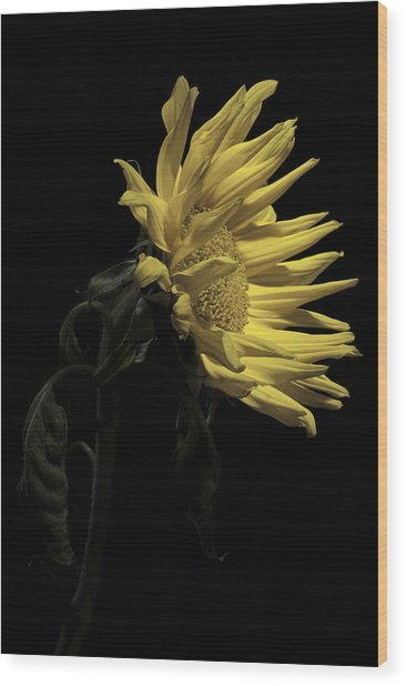 Sunflower Wood Print by Nathaniel Kolby