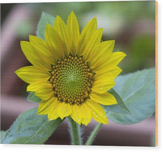 Sunflower Number 2 Wood Print