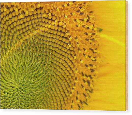 Sunflower Study 1 Wood Print