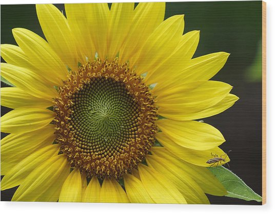 Sunflower With Insect Wood Print