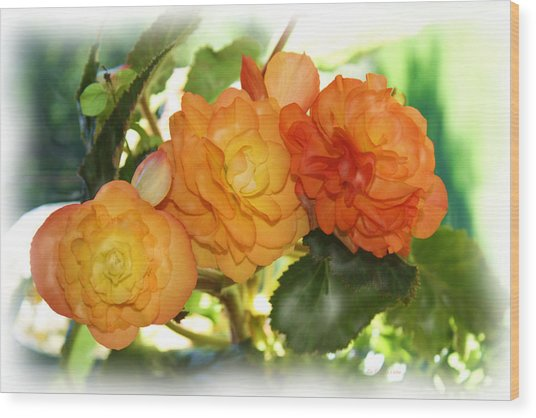 Sunkissed Begonia Trio Wood Print