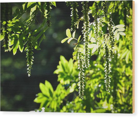 Sunlight Through Branches Wood Print by Ronda Broatch